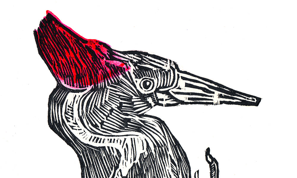 Ivory-Billed Woodpecker | A Field Guide to Extinct Birds